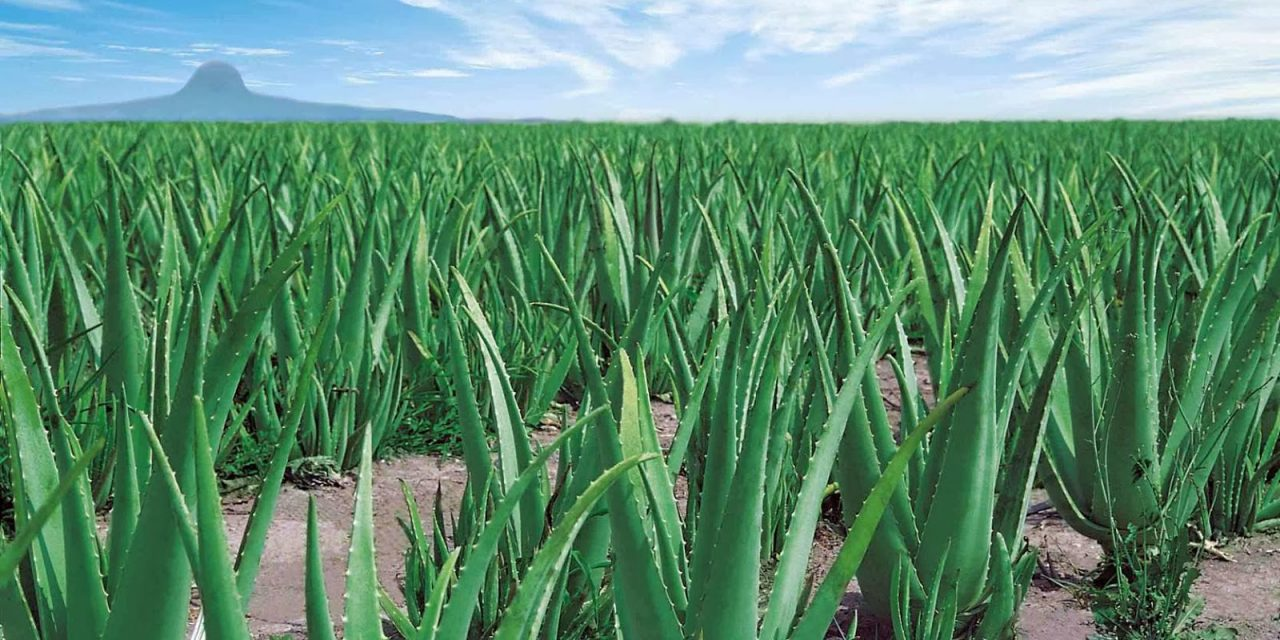 Aloe Vera | Aloe Barbadensis Mille